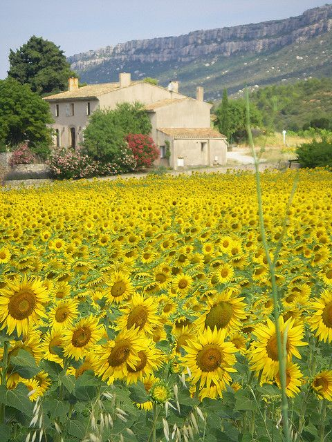 sunflower field in Provonce, France