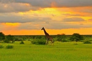 luxury-eco-tourism-tour-giraffe-africa-1-300x200