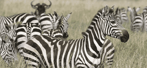 zebras watched on a safari, part of their multi family vacation