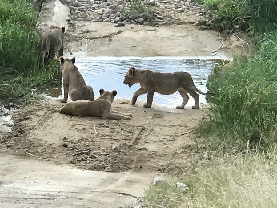 three lions on water in hole in the Kruger National Park in South Africa, picture taken by luxury travel advisor Theresa Jackson on her South Africa vacation