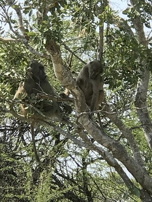 monkeys in the trees, Kruger National Park in South Africa