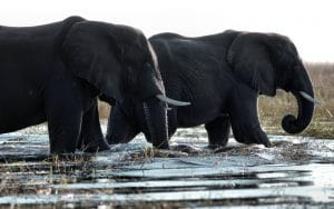 An African Safari in Wildlife-Rich Botswana
