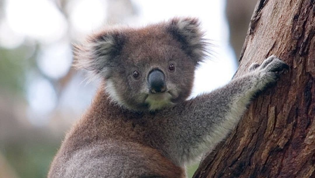 koala sitting on a tree in Australia, Australia travel, it's still all there