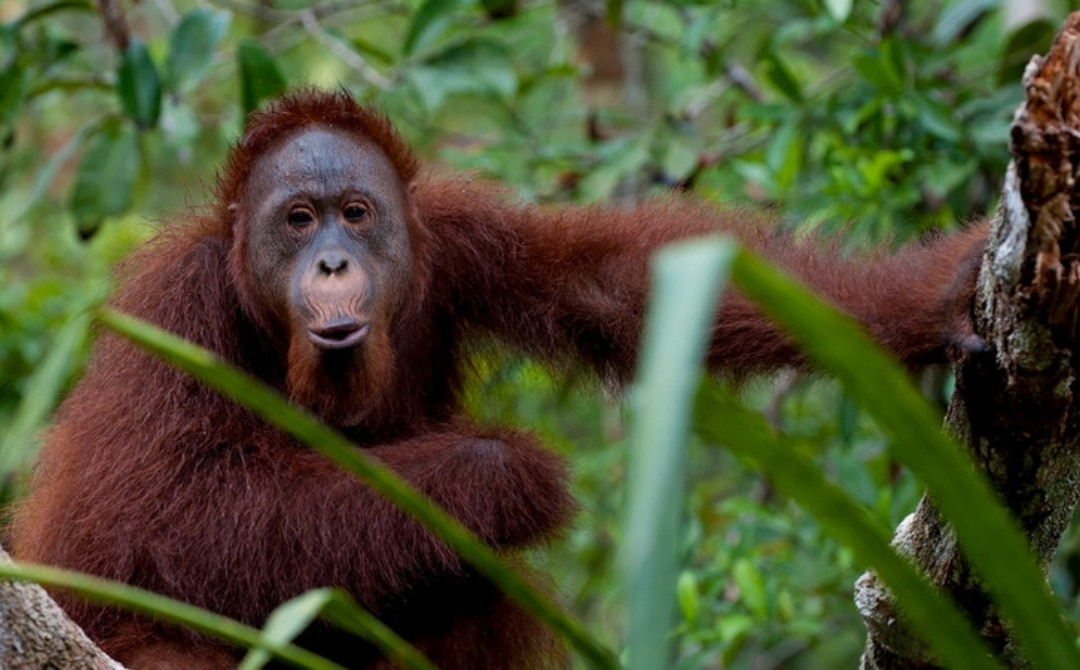 orangutan in Indonesia, Best Travel Destinations in Asia for Water, Adventure and Beach Lovers