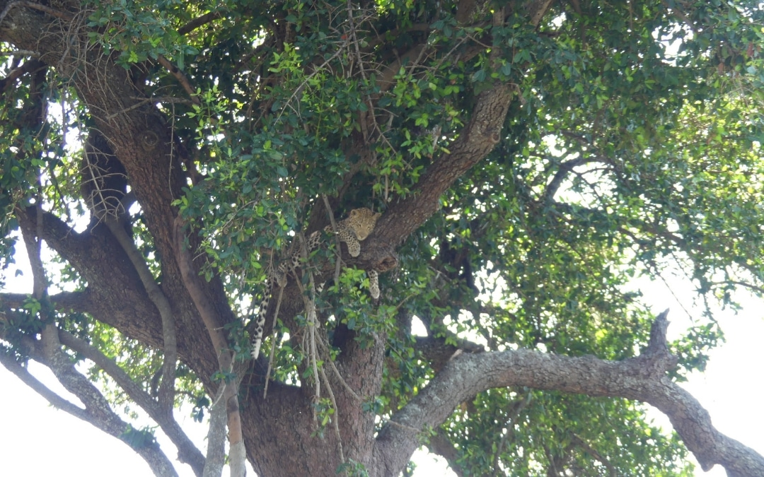 Botswana Safari - Part 1: Lessons Learned from the Leopard I Didn't Find