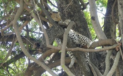 Botswana Safari – Part 1: Lessons Learned from the Leopard I Didn't Find