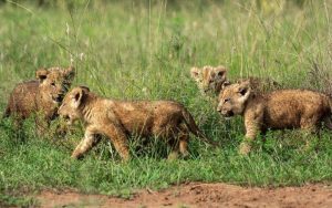 How Custom Travel Helps to Protect and Grow Lion Prides in Africa