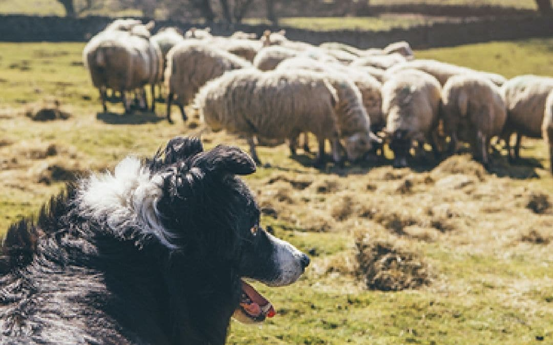 A Rural Sheepdog Experience, UK and Ireland Family Vacations